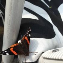 Schmetterling auf Zebra
