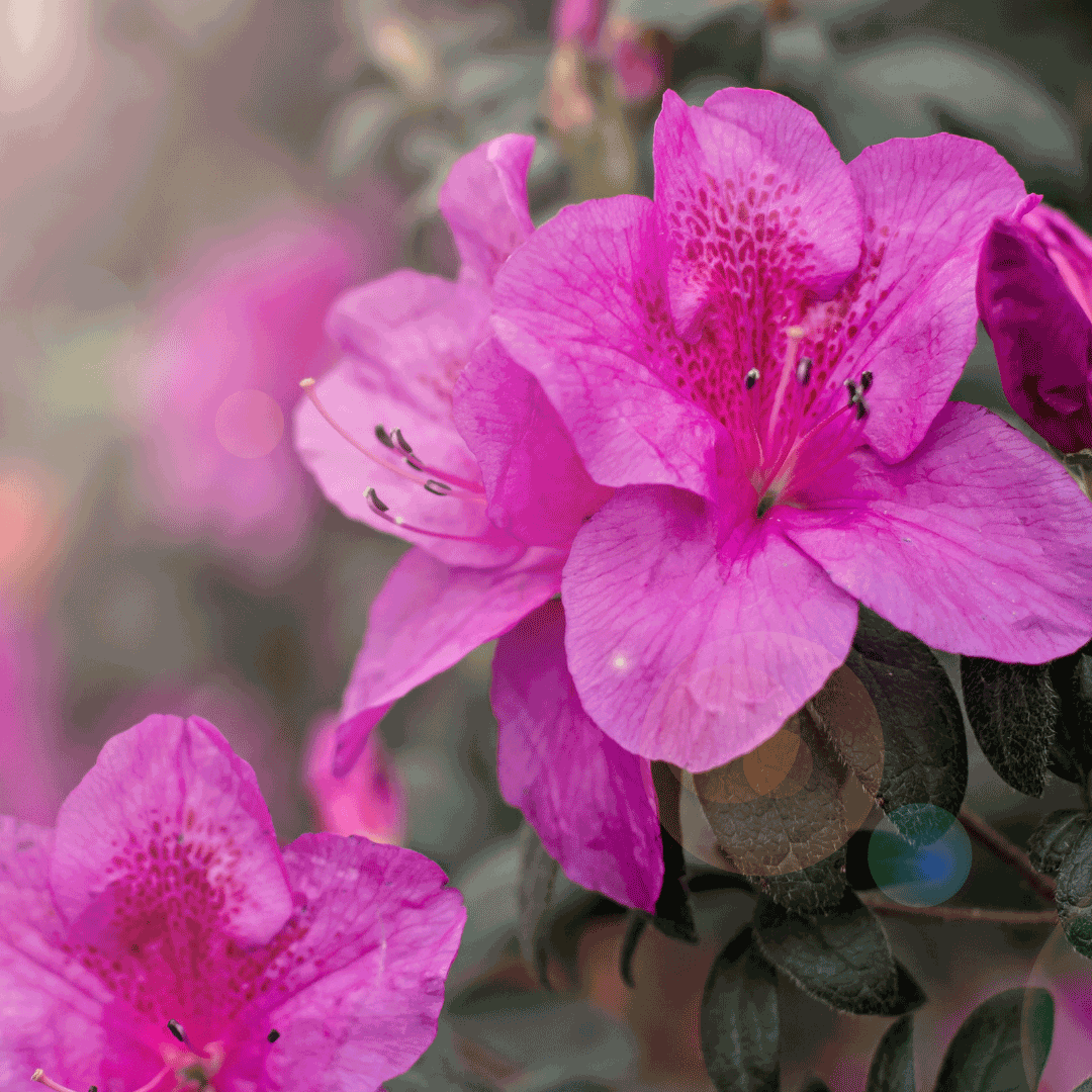 azalea flowers for mothers day philippines
