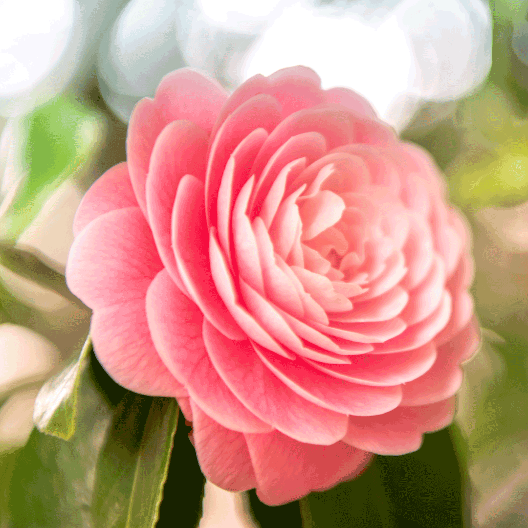 camellia flowers for mothers day philippines