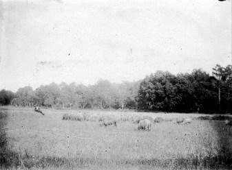 Pâturage - Août 1913