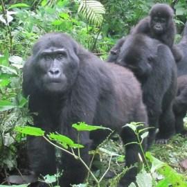 Safeguarding the Endangered Mountain Gorilla during Covid-19 Crisis