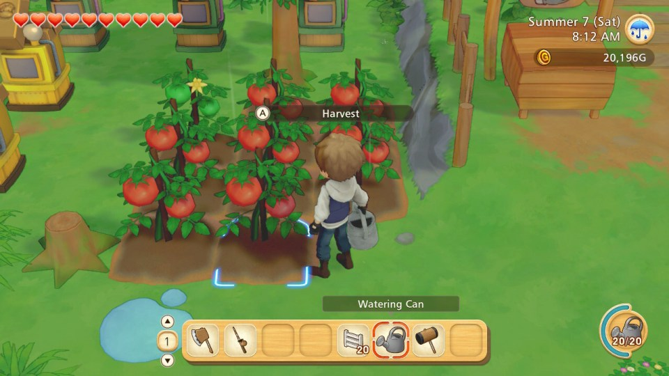 A farmer watering tomatoes