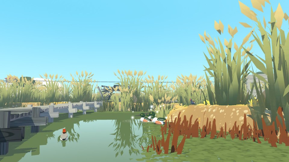 Ducks swimming around a swampy boardwalk with long reeds