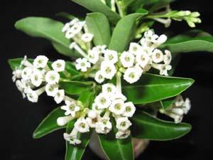 Cestrum Diurnum Day Blooming Jasmine