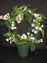 Stephanotis Floribunda Bridal Bouquet
