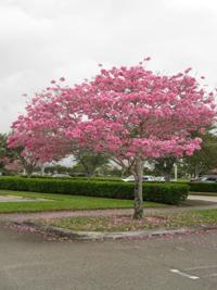 Tabebuia Impetiginosa Pink Trumpet Tree
