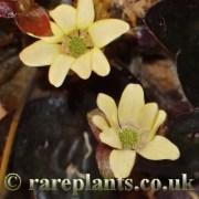 Hepatica japonica Yellow