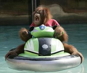 Orangutan Skiing
