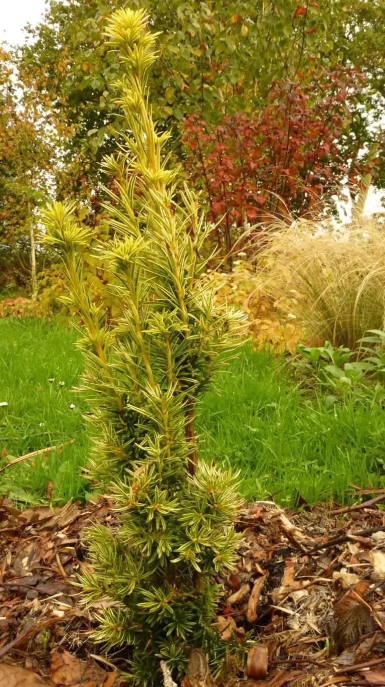 Taxus baccata fastigiata aurea - Lepezasta zlatna tisa