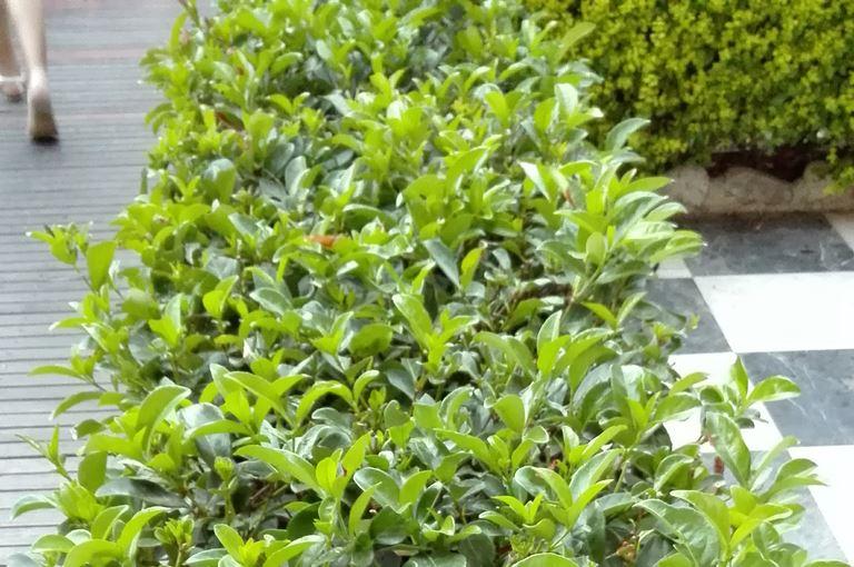 Prunus laurocerasus - Ziva ograda Prunus
