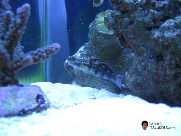 My Bullet Goby