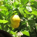 Le Trimaran Lemon Tree