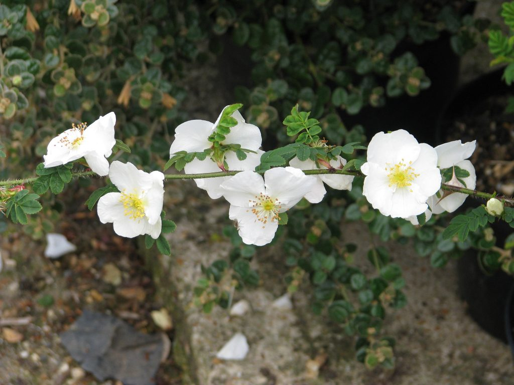 Winged thorn rose, Rosa sericea omeiensis pteracantha, grown from a hardwood cutting. Hardwood cuttings