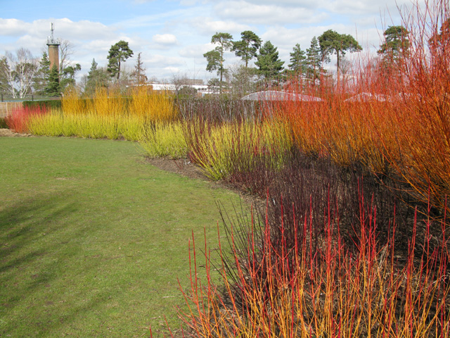 This fantastic display of colour comes from various dogwood species (Cornus), at Broadview Gardens, part of Hadlow College. Hardwood cuttings.