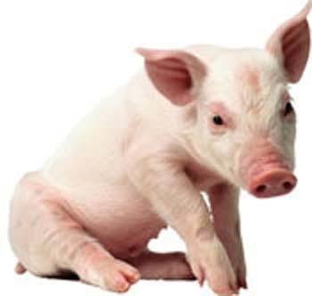10 cosas que debemos saber de la fiebre porcina