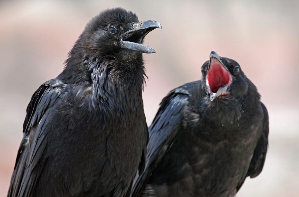 Calling all Ravens!