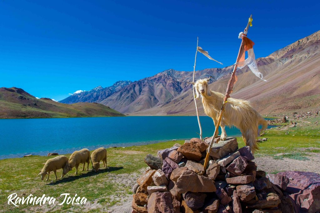 Himalayan Mountain Goat and sheep in front of Chandra Taal
