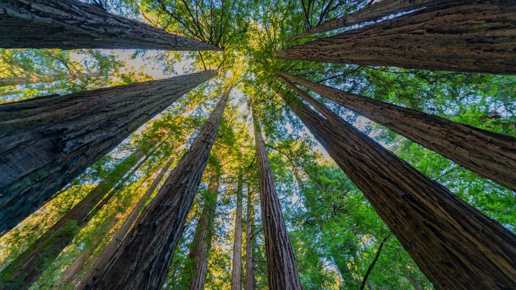 Redwoods trees at Muir Woods
