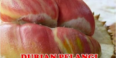 Durian Pelangi Unggul