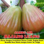 Bibit Jambu Bajang Leang