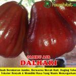 Bibit Jambu Air Dalhari