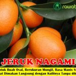 Bibit Jeruk Nagami