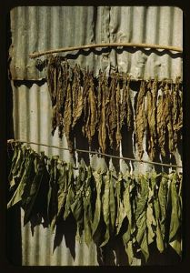 Tobacco String in Barn