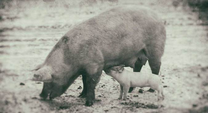 Sow with piglet