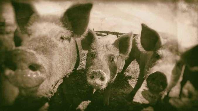 Hogs-USDA-Public-Domain
