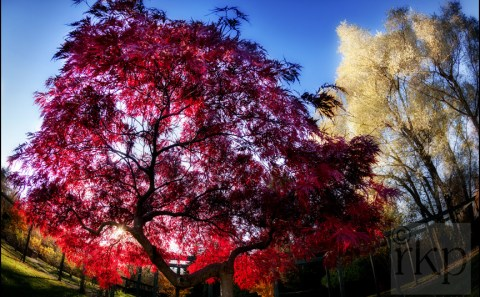 Fine Art - autumn Maple leaves in Flecther Moss Gardens, Didsbury, Manchester by Ray Kearney Photography