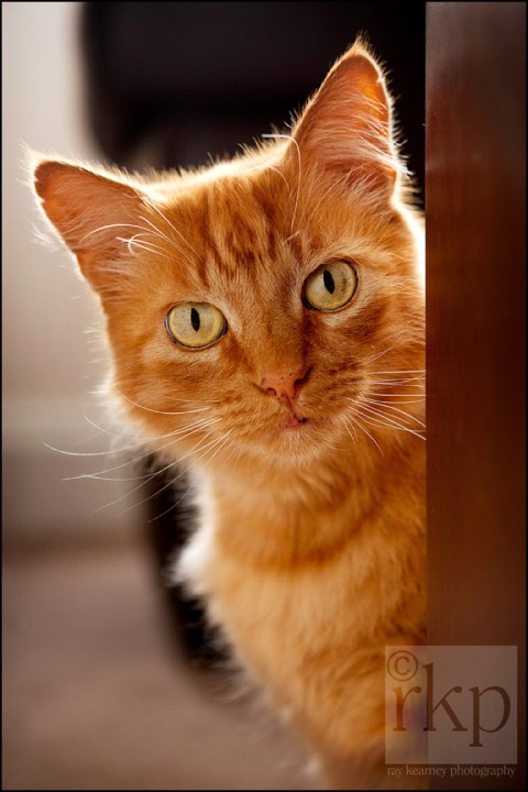 Ginger cat peering round table