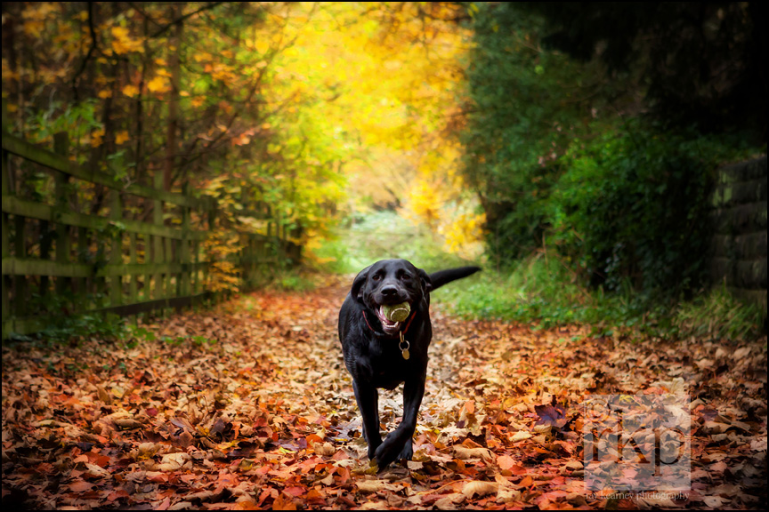 Black Labrador running with ball in autumn leaves by Ray Kearney Photography