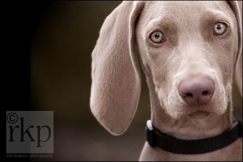 Weimaraner close up in Walkden Gardens, Sale