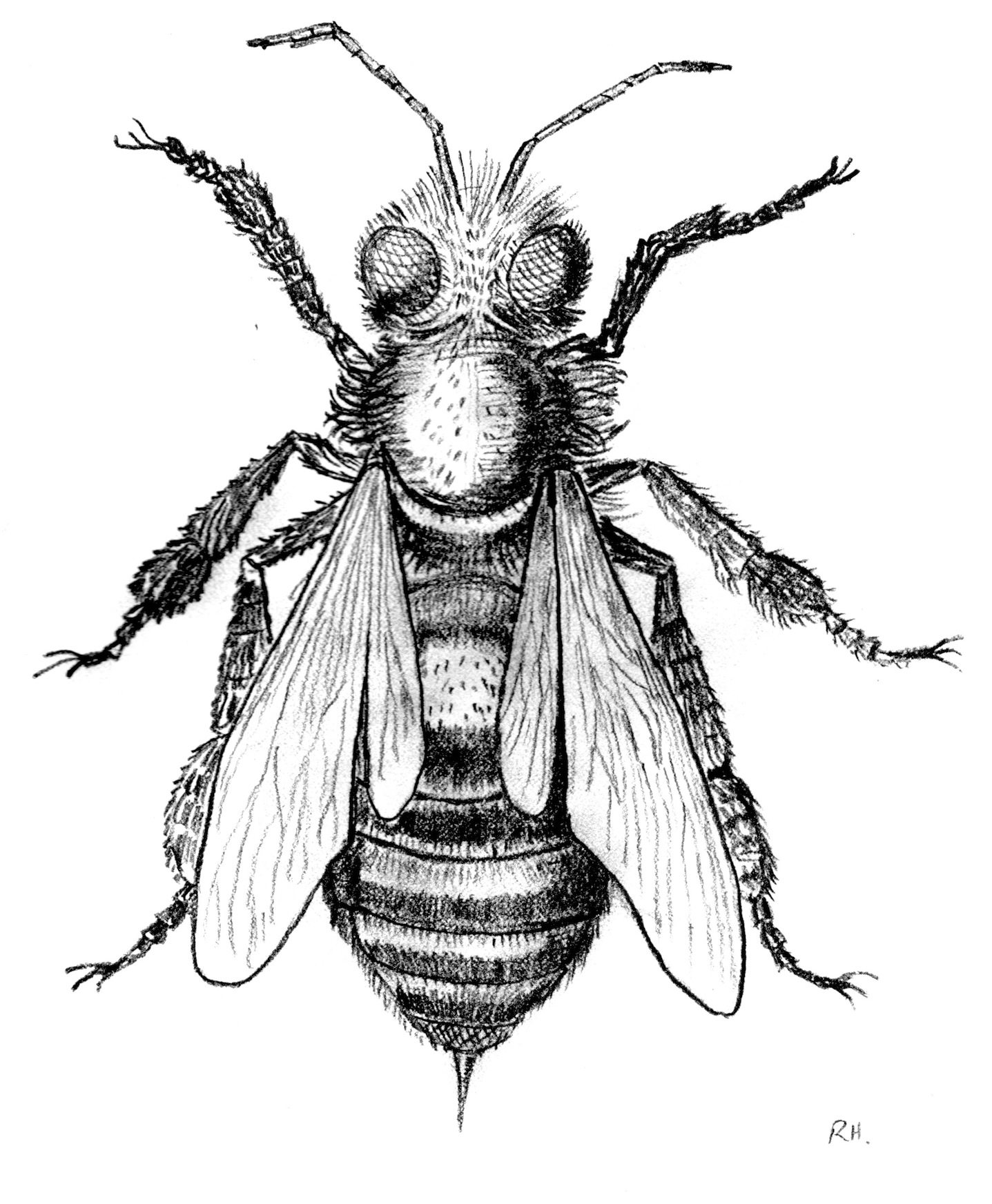 Honey Bee Scientific Drawing