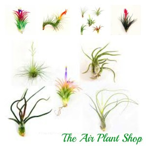 Air Plant varieties, shapes and sizes