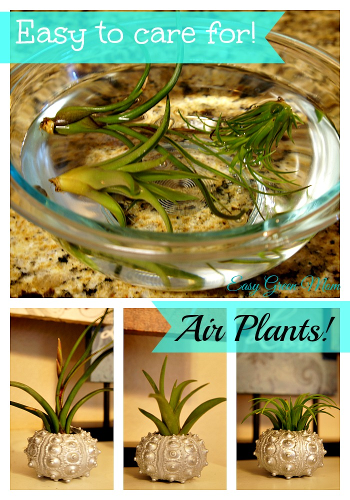 Air Plants - Easy to Care for!