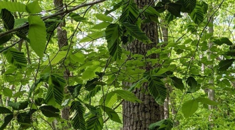 Dark bands on beech leaves infected with beech leaf disease
