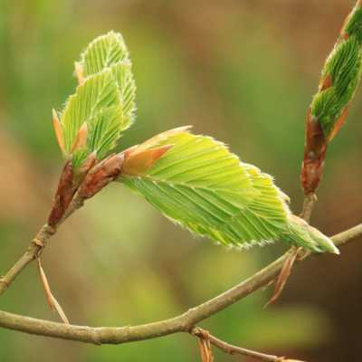 New leaves emerging on a beech tree in spring.