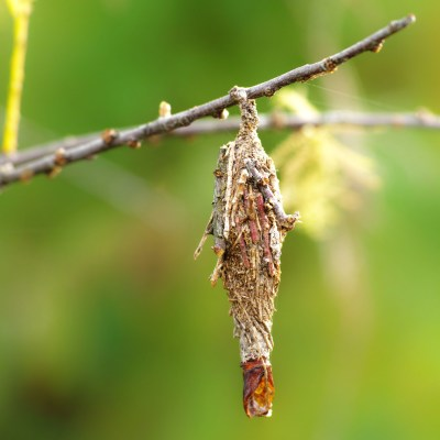Bagworm hanging from a branch with a green background