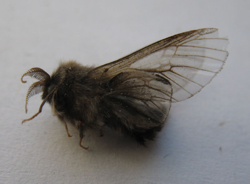 Male bagworm with transparent wings