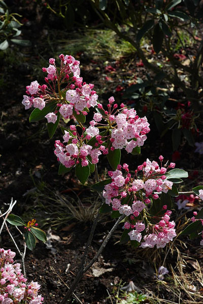 Kalmia latifolia (mountain laurel) flower growing well in acidic soil