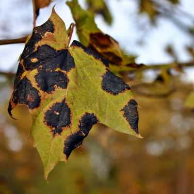 Leaf with tar stain disease
