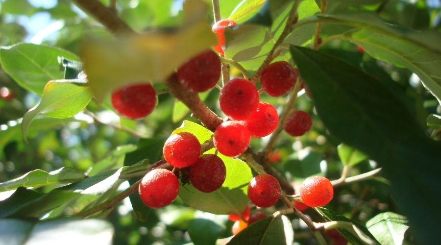Close-up of red berries and foliage of an autumn olive tree, which is not recommended to plant in Connecticut.