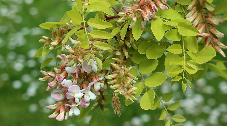 Closeup of a black locust tree's flowers and foliage.