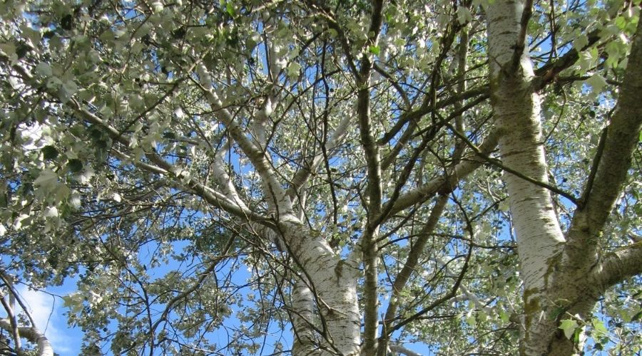 White bark and silvery leaves of the white poplar, a tree not recommended to plant in Connecticut.