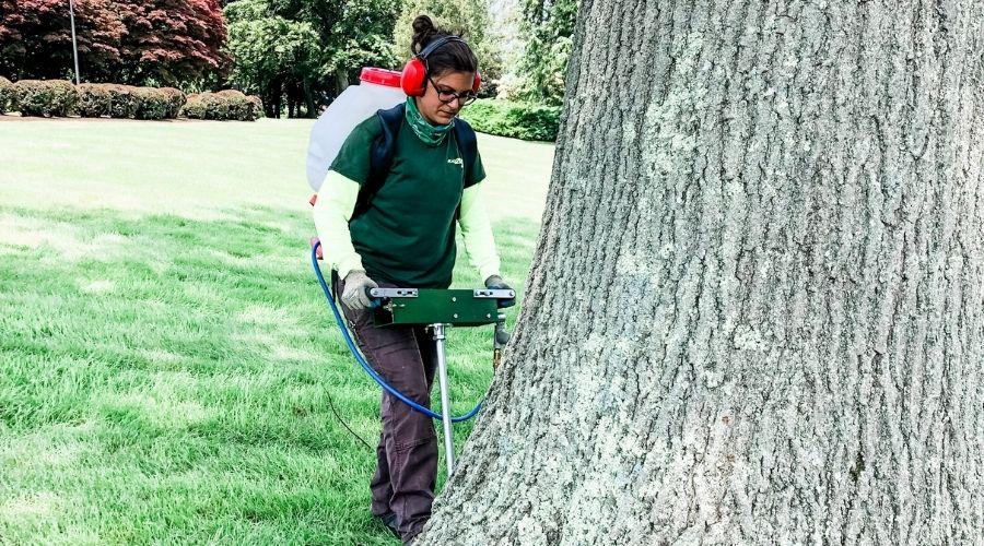 A Rayzor's Edge team member applies deep root fertilization to a Connecticut tree in summer.