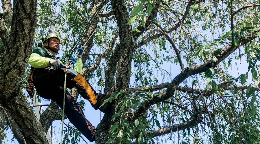 A Rayzor's Edge arborist prunes a tree during the summer months.