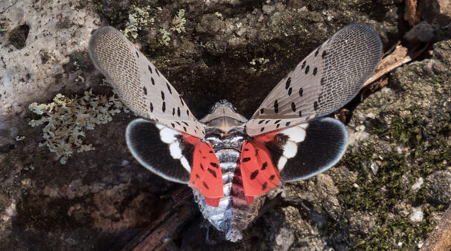Photo of a spotted lanternfly from above, with its wings outstretched. Red and grey spotted areas are observable