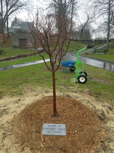 A tree planted by Rayzor's Edge Tree Service, covered with mulch, with a plaque saying that the tree was donated by Rayzor's Edge