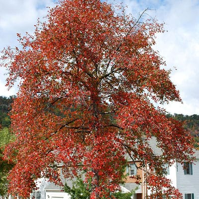 black tupelo tree in full fall color